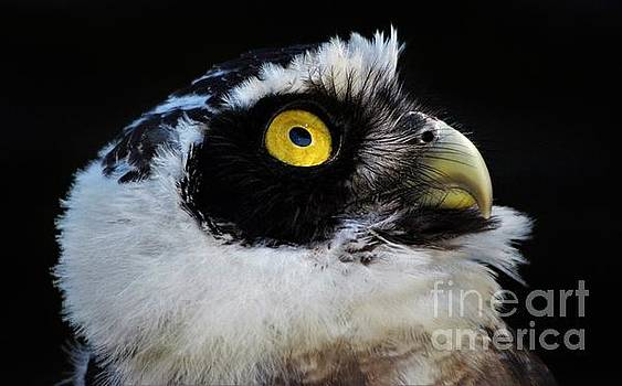 Paulette Thomas - Owl Looking Up