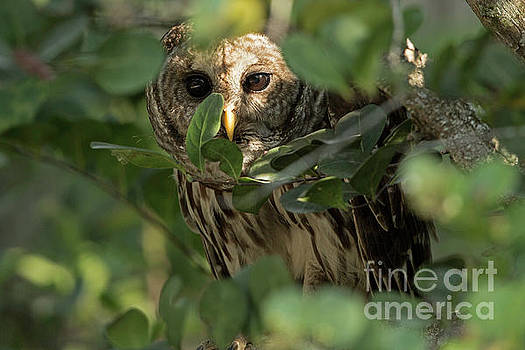 Owl Peek a Boo by Natural Focal Point Photography