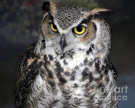 Owl by Steven Brennan