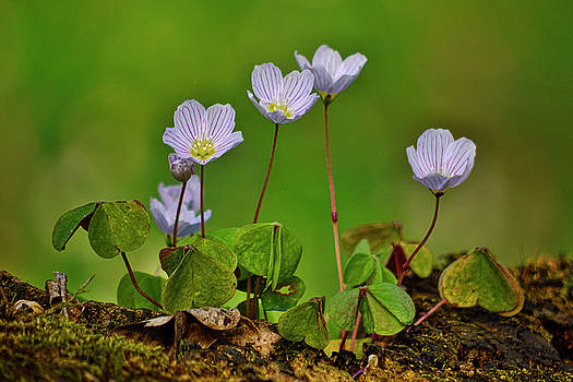 Oxalis acetosella by Ivan Slosar