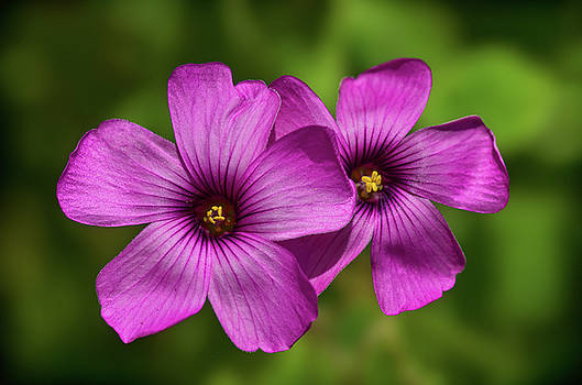 Oxalis flowers by Pete Hemington