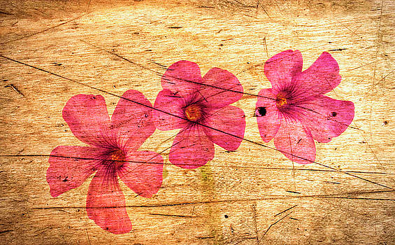 Oxalis on a Scratched Wooden Surface. by Paul Cullen