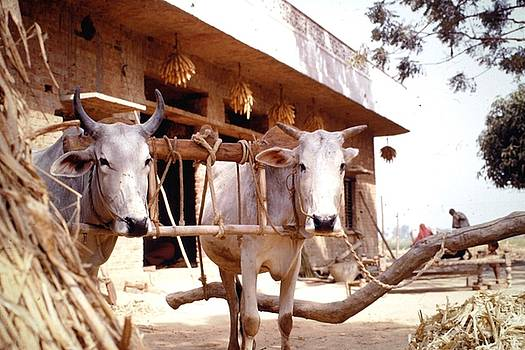 Oxen in village, India by Barron Holland