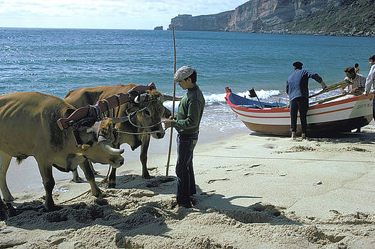 Oxen Team on Portugal Beach by Carl Purcell