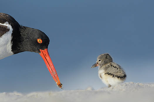 Oystercatcher mom and chick by George DeCamp