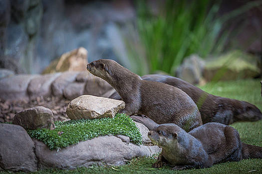 Oz Otters by Chris Hood
