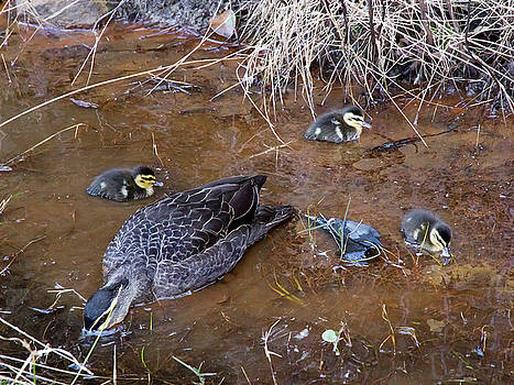 Pacific Black Duck Family by Miroslava Jurcik