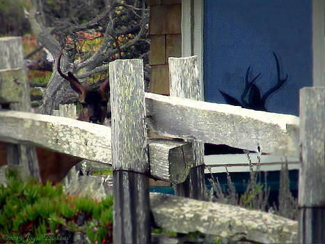 Joyce Dickens - Pacific Grove Deer And His Reflection