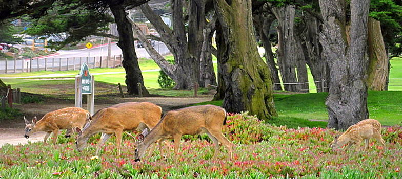 Joyce Dickens - Pacific Grove Deer Family Close Up