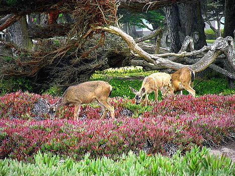 Joyce Dickens - Pacific Grove Deer Feeding