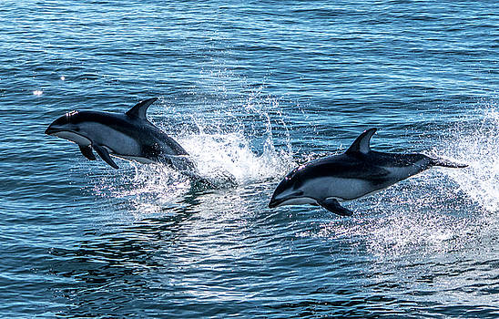 Pacific White-sided Dolphin pair by Randy Straka