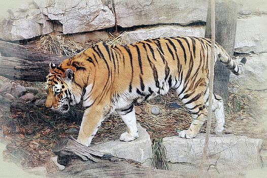 Pacing Tiger by Stephen Schwiesow