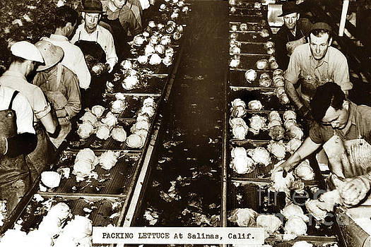 Packing Lettuce in Packing shed Salinas, California Circa 1945 by California Views Mr Pat Hathaway Archives