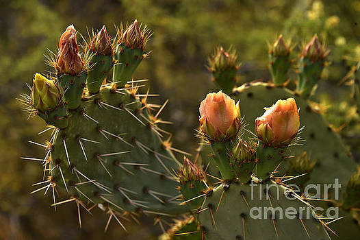 Paddle Cactus Blooms by Howard Koby