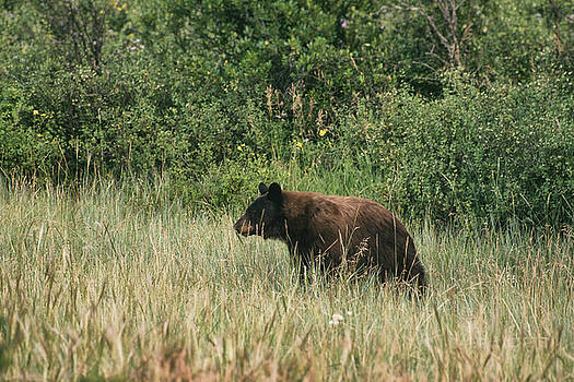 Pagosa Momma Bear by Jason Coward