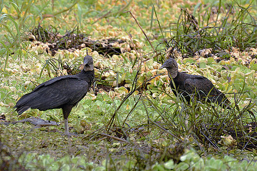 Harvey Barrison - Pahuachiro Cano and  the Black Vulture