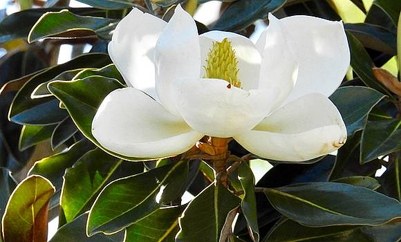Paint me a Magnoiia  by Sheila Price