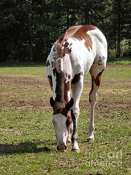 Sandra  Huston - Paint/Quarter Horse Foal