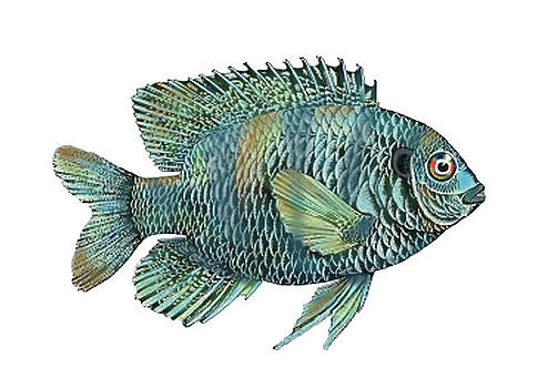 Painted Bluegill Fish No Background by Sandi OReilly
