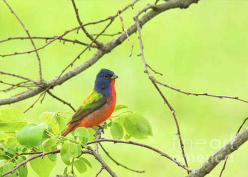Painted Bunting by Mother Nature by Sari ONeal