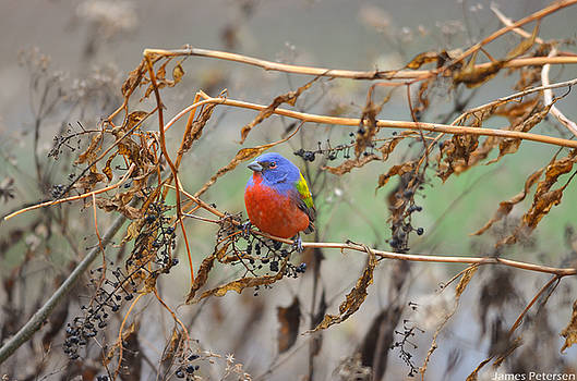 Painted Bunting by James Petersen