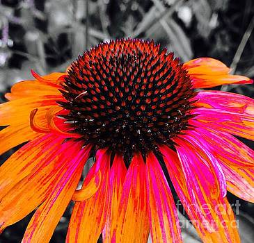 Onedayoneimage Photography - Painted Coneflower