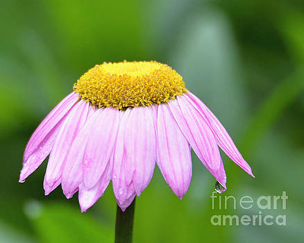 Painted Daisy  by Lila Fisher-Wenzel