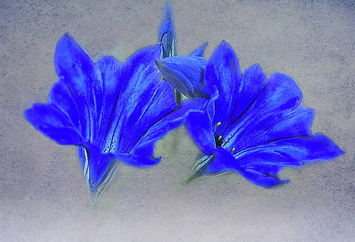 Painted Gentians by Jacqi Elmslie