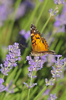 Lara Ellis - Painted Lady Butterfly On Lavender