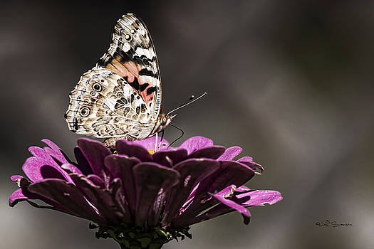 Painted Lady by Jeff Swanson