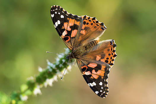 Painted Lady by Mircea Costina Photography