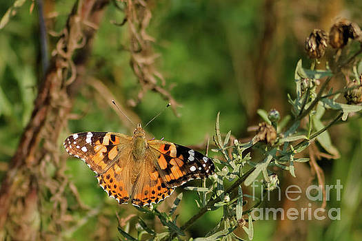 Painted Lady by Natural Focal Point Photography