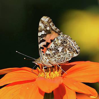Painted Lady on Orange Flower by Doris Potter