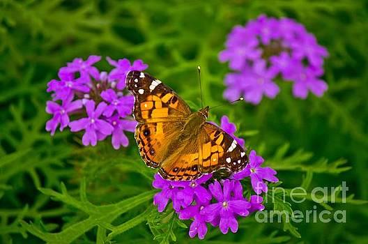 Michael Tidwell - Painted Lady on Purple Verbena