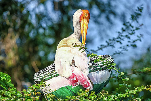 Painted Stork by Nila Newsom