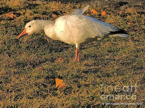 Tami Quigley - Painting The Snow Goose