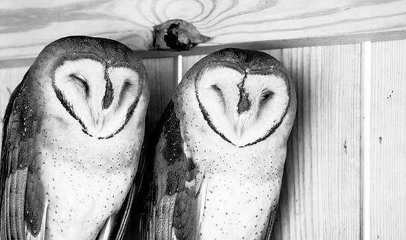Pair of Barn Owls in Black and White by Tracy Winter