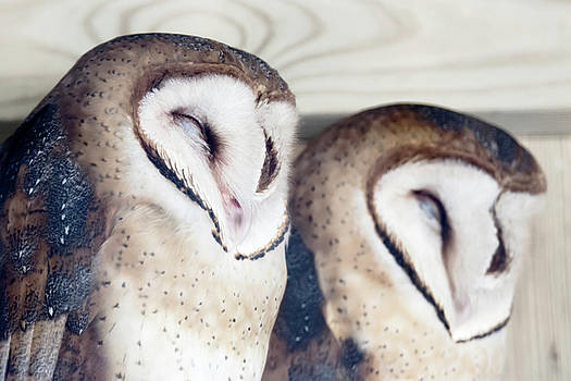 Pair of Barn Owls by Tracy Winter
