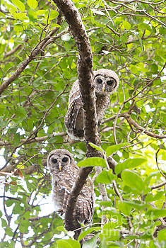 Pair of Barred Owl Chicks by Natural Focal Point Photography