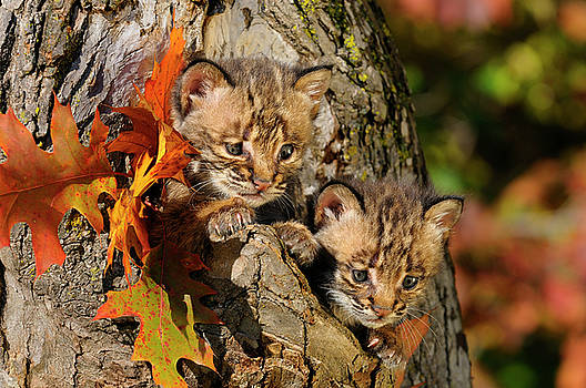 Reimar Gaertner - Pair of cautious Bobcat kittens peeking out from the hollow of a