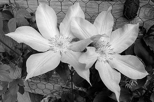 Pair of Clematis by Tom Reynen
