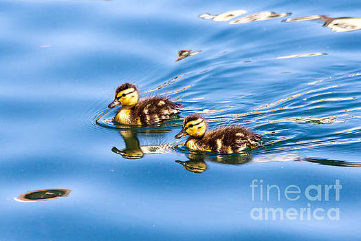Kate Brown - Duckling Duo