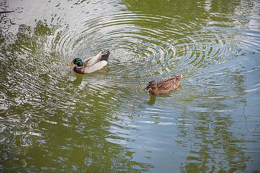 Pair Of Ducks On Vortex Water by Matjaz Preseren
