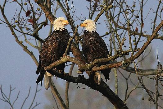 Pair of Eagles by Rod Flauhaus