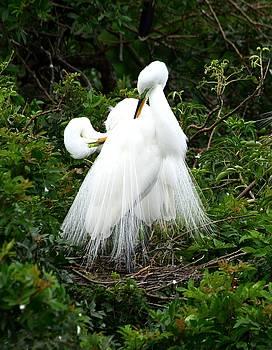 Patricia Twardzik - Pair of Egrets Grooming