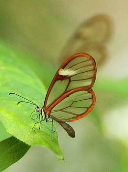Pair of Glass winged butterflies by Ruth Jolly