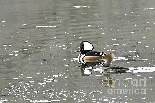 Larry Ricker - Pair of Hooded Mergansers