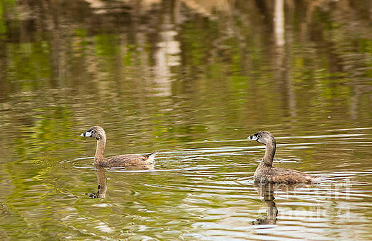 Pair of Pied-billed Grebes by Natural Focal Point Photography