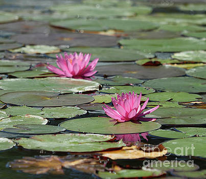 Pair Of Pink Pond Lilies by Sandra Day