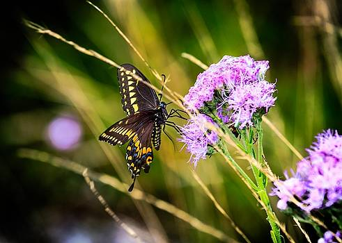 Palamedes Swallowtail by Christopher Perez